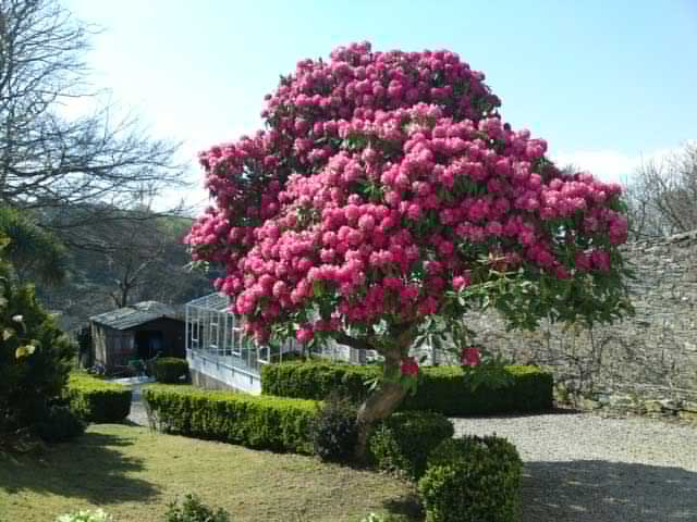 pink-tree